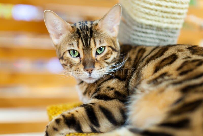 Portrait d'un chat du Bengale d'or image libre de droits