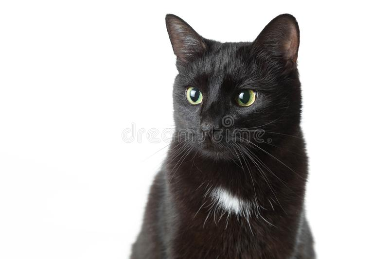 Portrait d'un chat noir adulte sur un fond blanc Le chat tranquillement se repose et regarde de côté photographie stock libre de droits