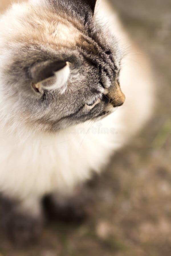 Portrait d'un chat siamois au sol images stock