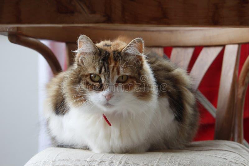 Portrait d'un chat tricolore avec le collier rouge sur des regards indifférents de chairwith rustique image libre de droits
