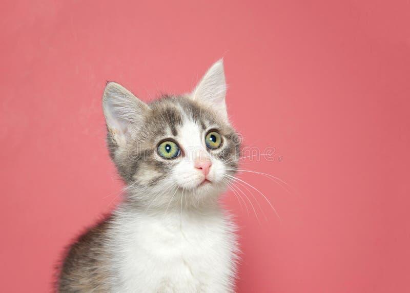 Portrait d'un chaton blanc et gris adorable avec le fond rose de grands yeux ronds images libres de droits