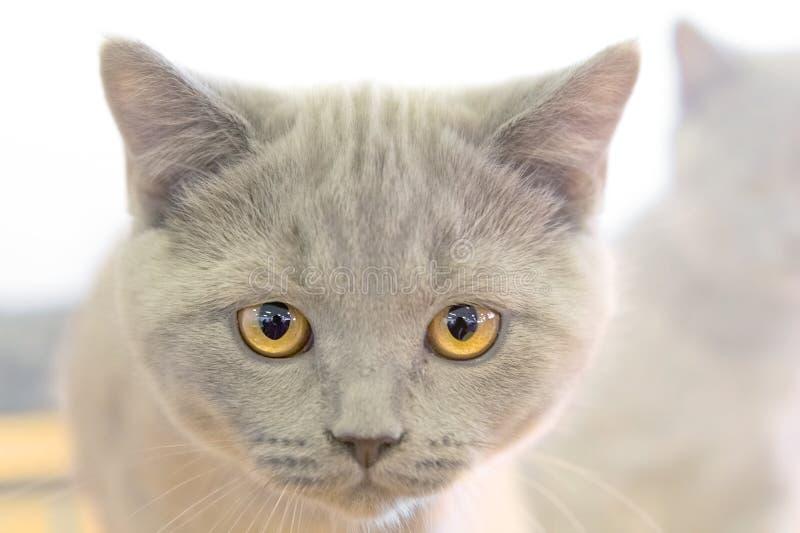 Portrait d'un chaton britannique de Shorthair images stock
