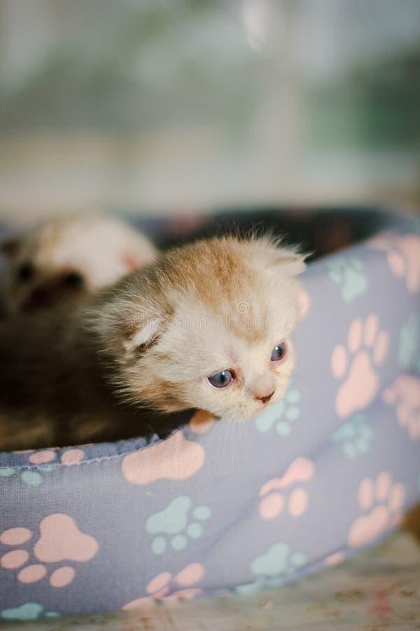 Portrait d'un chaton gris-droit écossais magnifique photographie stock libre de droits