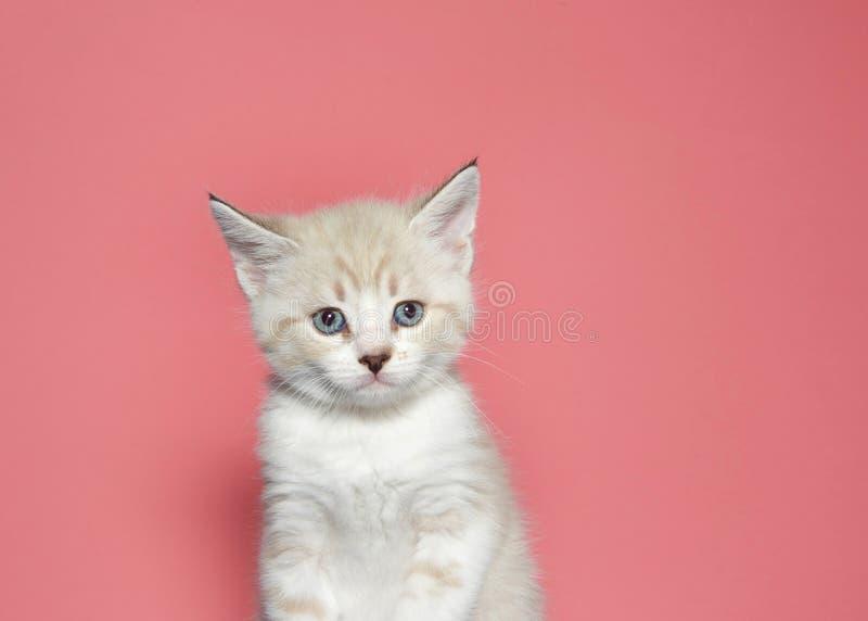 Portrait d'un chaton tigré crème avec l'expression inquiétée photographie stock libre de droits