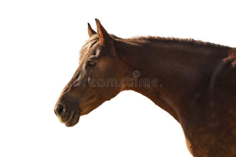 Portrait d'un cheval avec une crinière légère dans le profil d'isolement sur W photo libre de droits