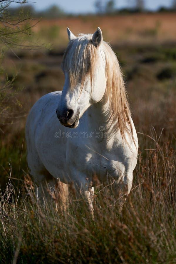 Portrait d'un cheval blanc photographie stock