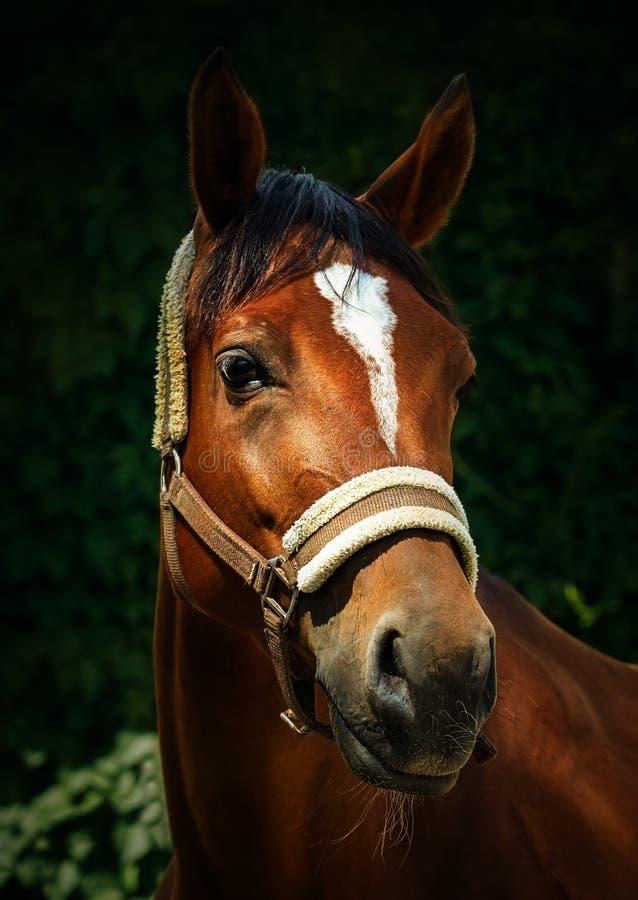 Portrait d'un cheval de baie dans un licou photos libres de droits