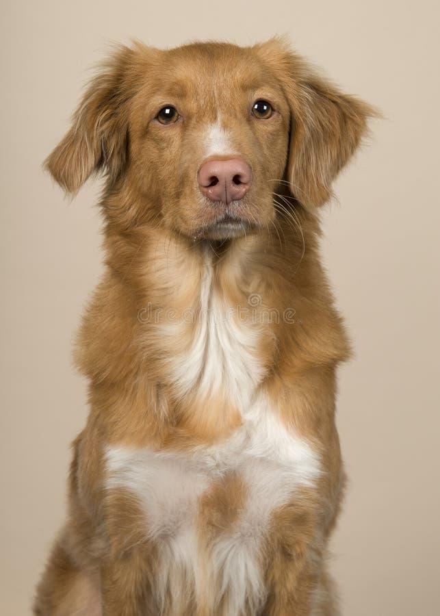 Portrait d'un chien d'arrêt de tintement de canard de la Nouvelle-Écosse sur un fond coloré par crème images stock