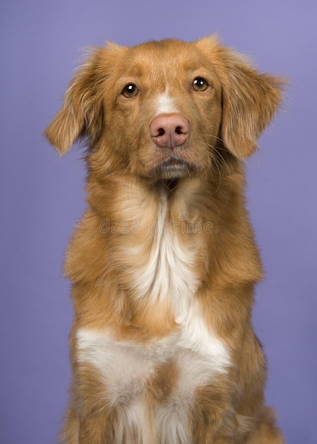 Portrait d'un chien d'arrêt de tintement de canard de la Nouvelle-Écosse sur un fond pourpre photos libres de droits