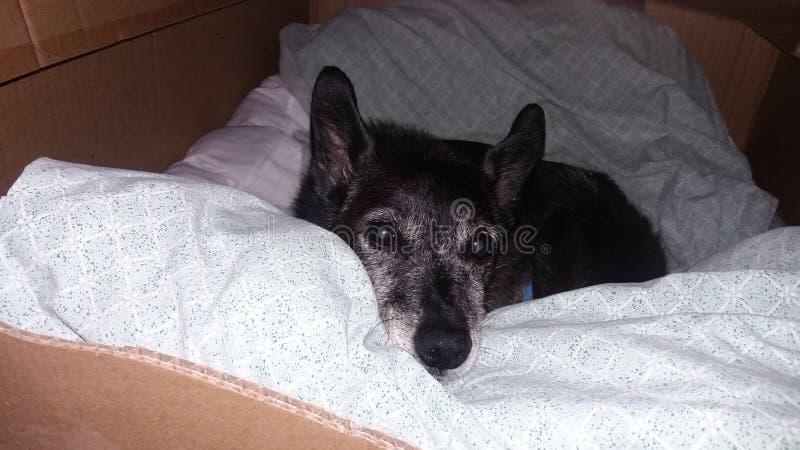 Portrait d'un chien avec sa tête se reposant sur un oreiller image stock