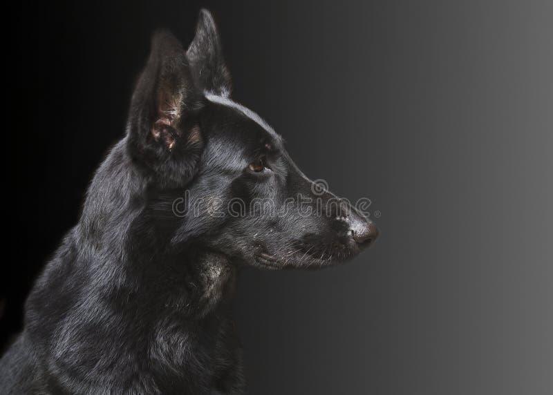 Portrait d'un chien, berger allemand images libres de droits
