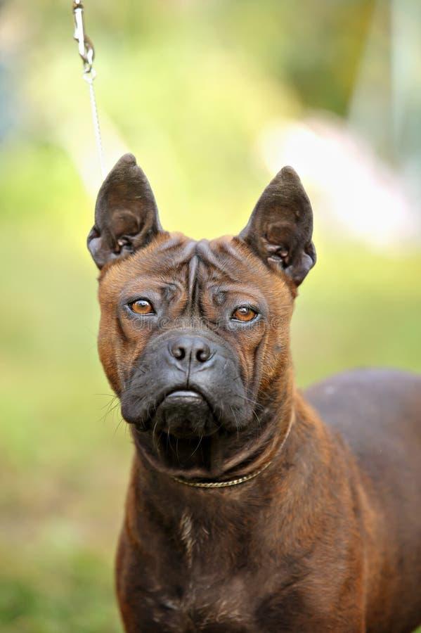 portrait d 39 un chien chinois de chongqing image stock image 60950211. Black Bedroom Furniture Sets. Home Design Ideas