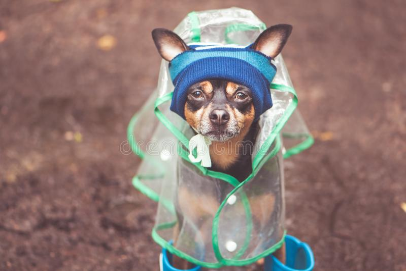Portrait d'un chien créatif dans un chapeau et un imperméable Thème d'automne et pluvieux photo stock