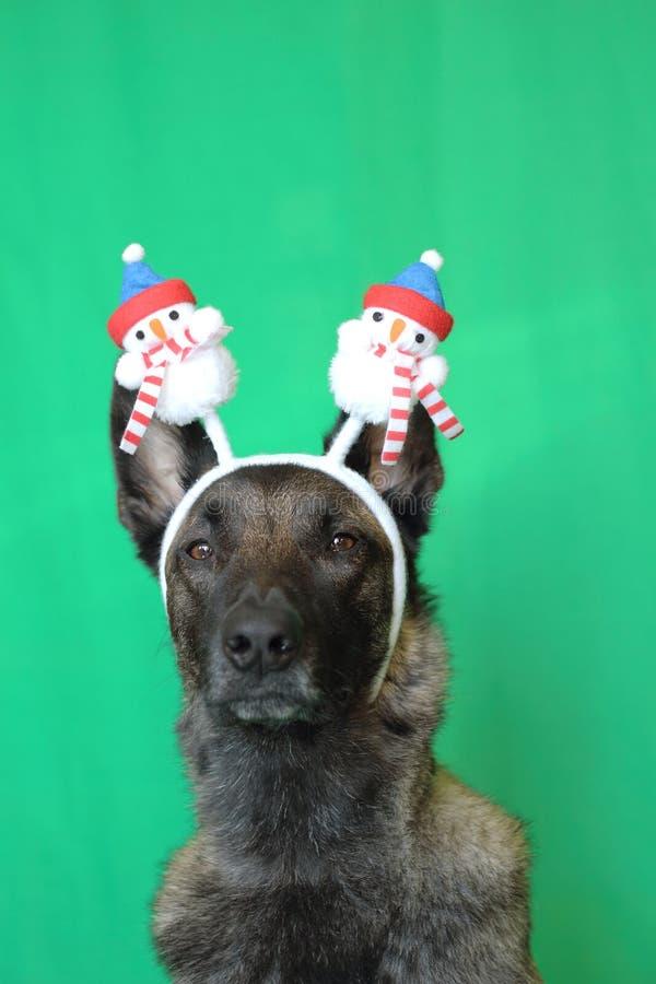 Portrait d'un chien de berger belge de malinois avec un sembler émouvant portant un diadème de Noël rouge et blanc sur un fond ve photographie stock