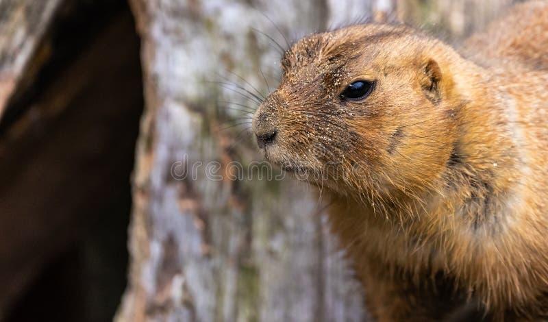 Portrait d'un chien de prairie triste, Cynomys scientifique de nom photos stock