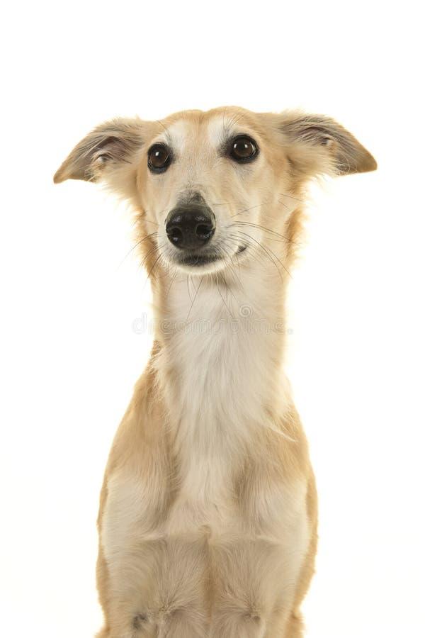 Portrait d'un chien de soie de windsprite regardant loin sur un fond blanc photo stock
