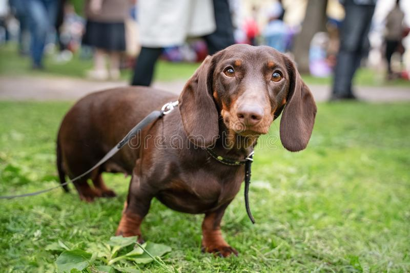 Portrait d'un chien de teckel, rouge foncé, avec un collier, sur une promenade en parc, regardant la caméra photos stock
