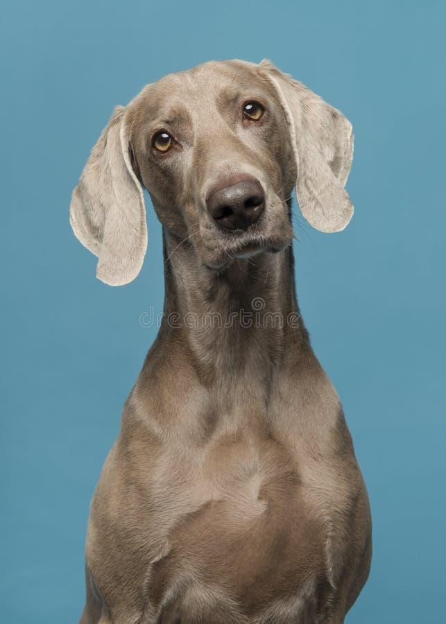 Portrait d'un chien de weimaraner sur un fond bleu image stock