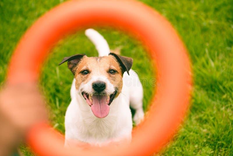 Portrait d'un chien heureux à l'aide d'un jouet de tireur interactif orange photo libre de droits