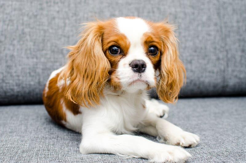 Portrait d'un chien sur le lit photos stock
