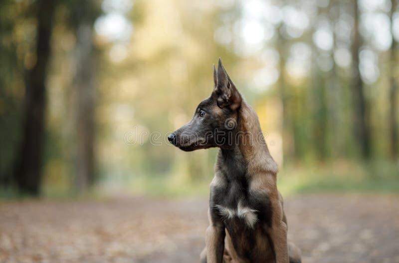 Portrait d'un chiot belge de berger en nature images stock
