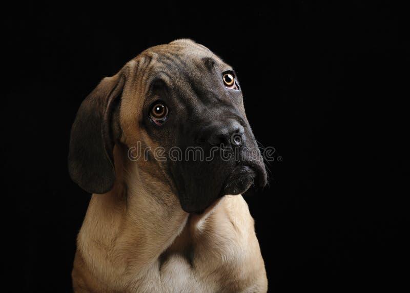 Portrait d'un chiot de mastiff image libre de droits