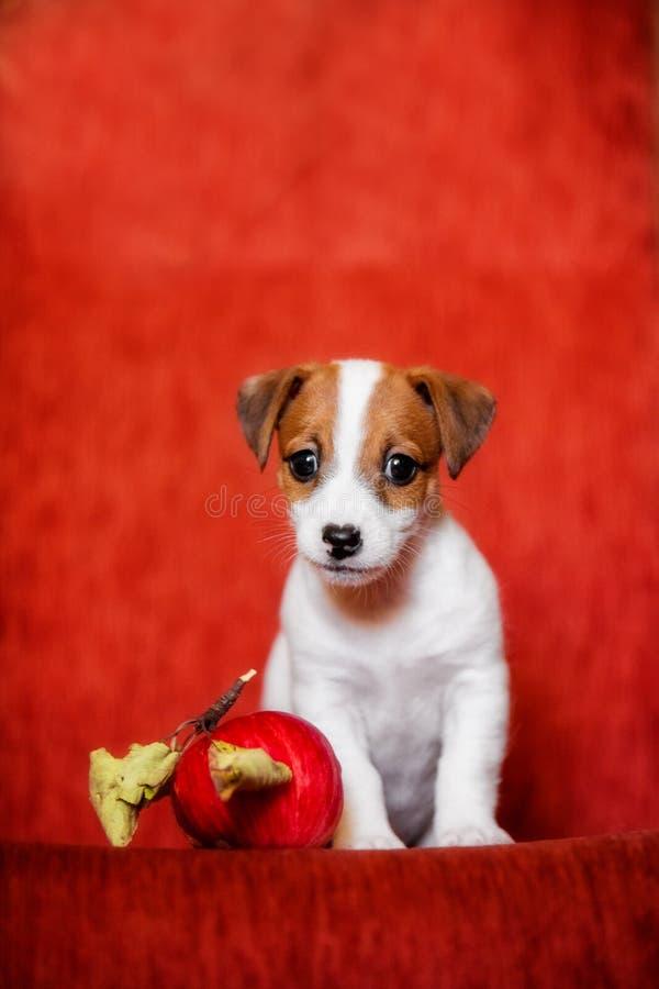 Portrait d'un chiot mignon Jack Russell avec une pomme sur un fond rouge image stock