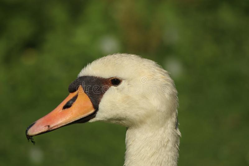 Portrait d'un cygne blanc photos stock