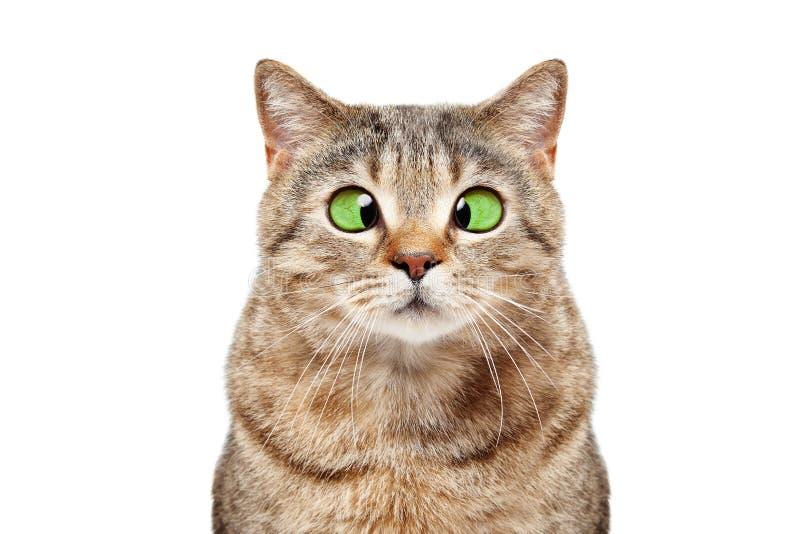 Portrait d'un droit écossais de chat bigle drôle photo stock