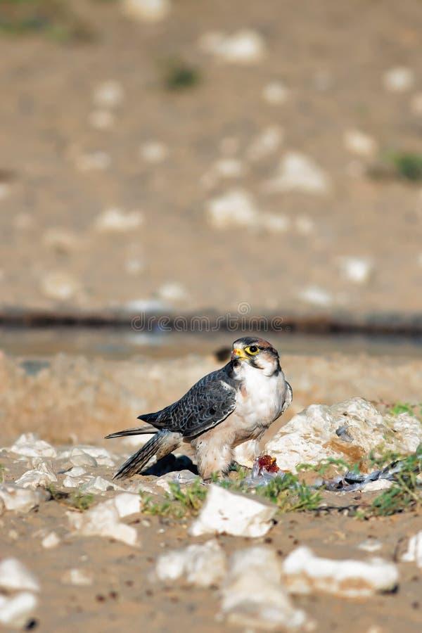 Portrait d'un faucon de Lanner photo stock