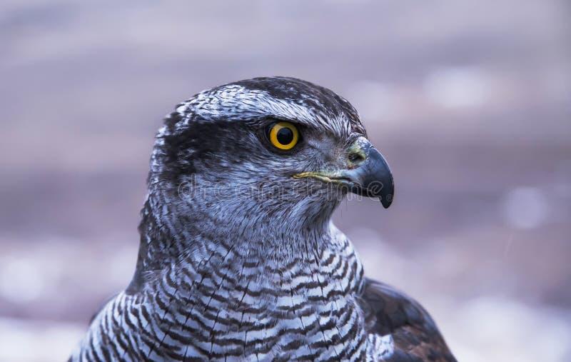 Portrait d'un faucon prédateur photographie stock