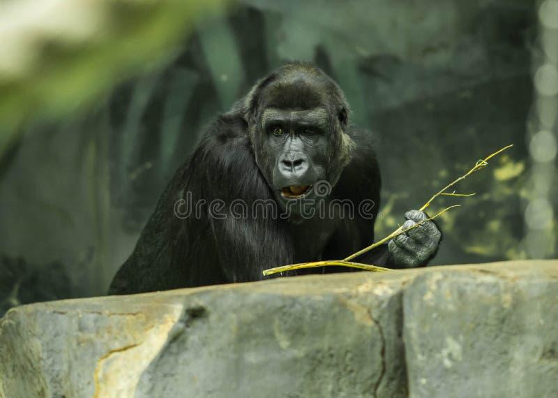 Portrait d'un gorille noir énorme photo stock