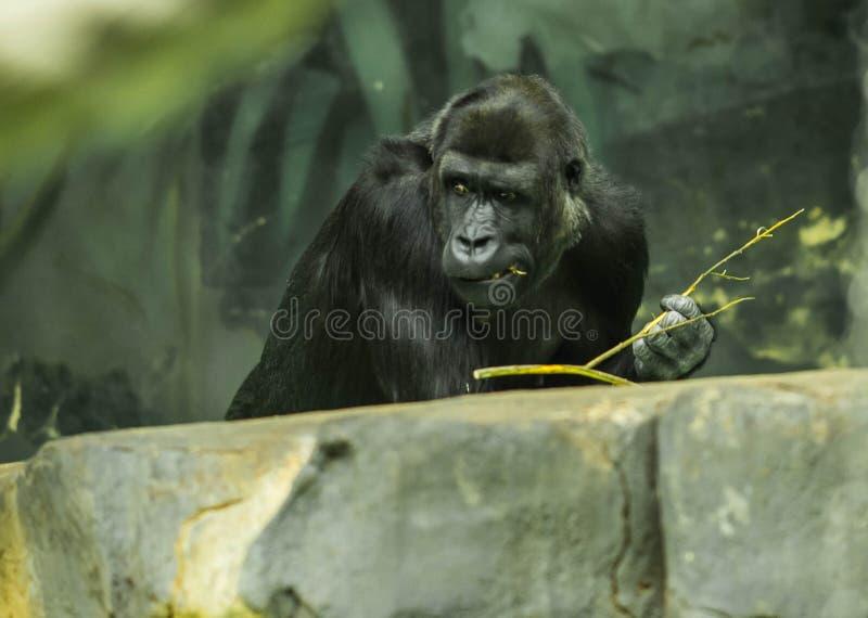 Portrait d'un gorille noir ?norme photo libre de droits