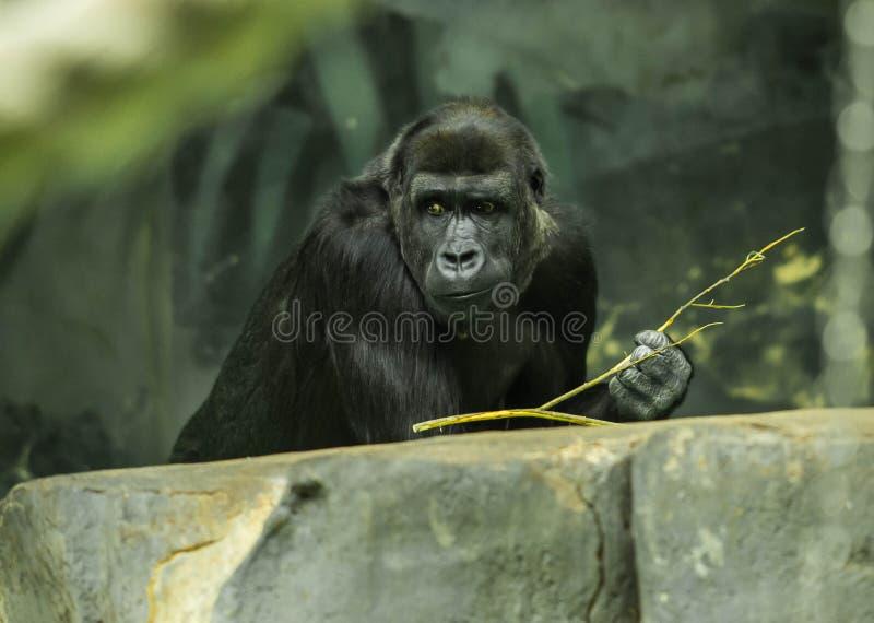 Portrait d'un gorille noir ?norme images stock