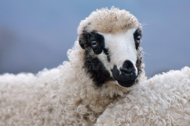 Portrait d'un jeune mouton image stock