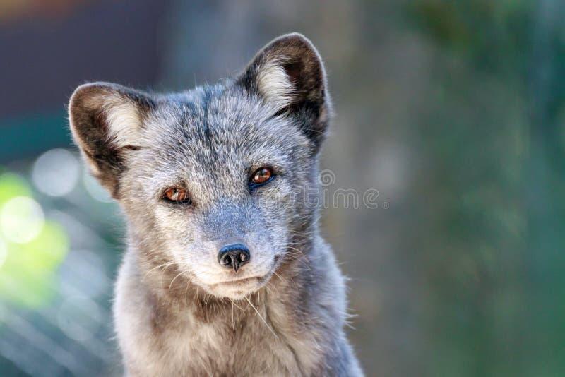 Portrait d'un jeune renard arctique photos stock