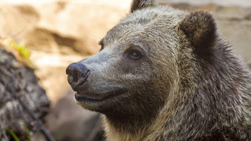 Portrait d'un joyeux grizzli photographie stock libre de droits