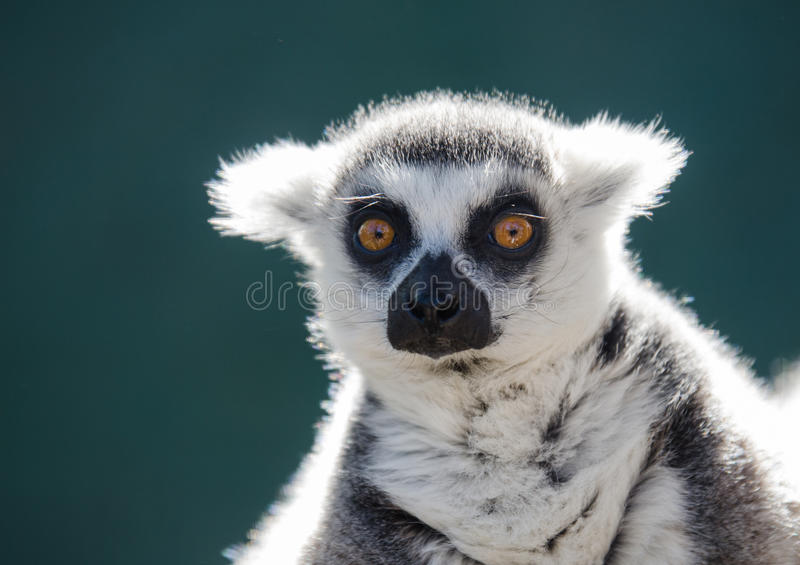 Portrait d'un lémur anneau-coupé la queue sur un fond vert-foncé photographie stock