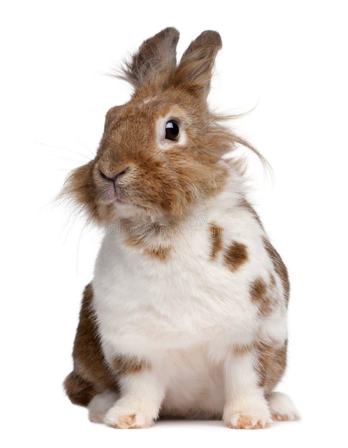 Portrait d'un lapin européen, cuniculus d'Oryctolagus images libres de droits