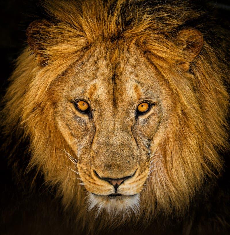 Portrait d'un lion africain masculin photographie stock libre de droits