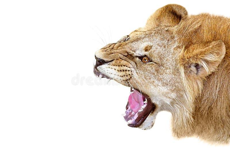 Portrait d'un lion de grognement photos stock
