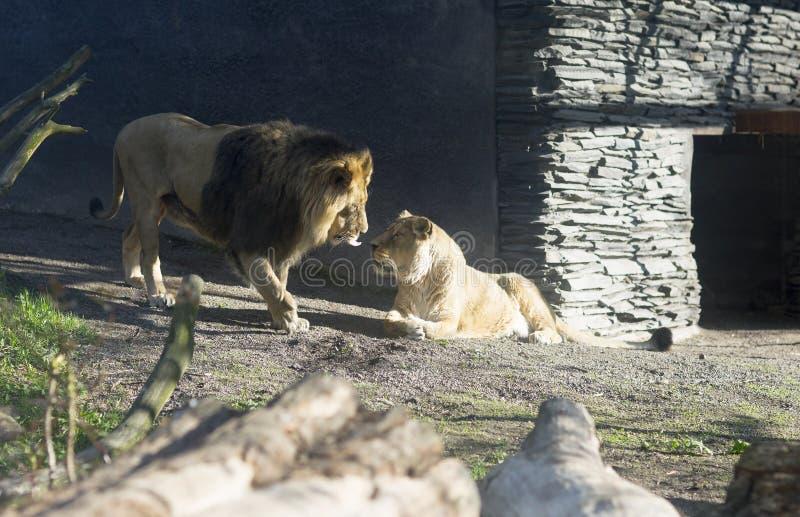 Portrait d'un lion et d'une lionne dans le zoo, Finlande photos stock