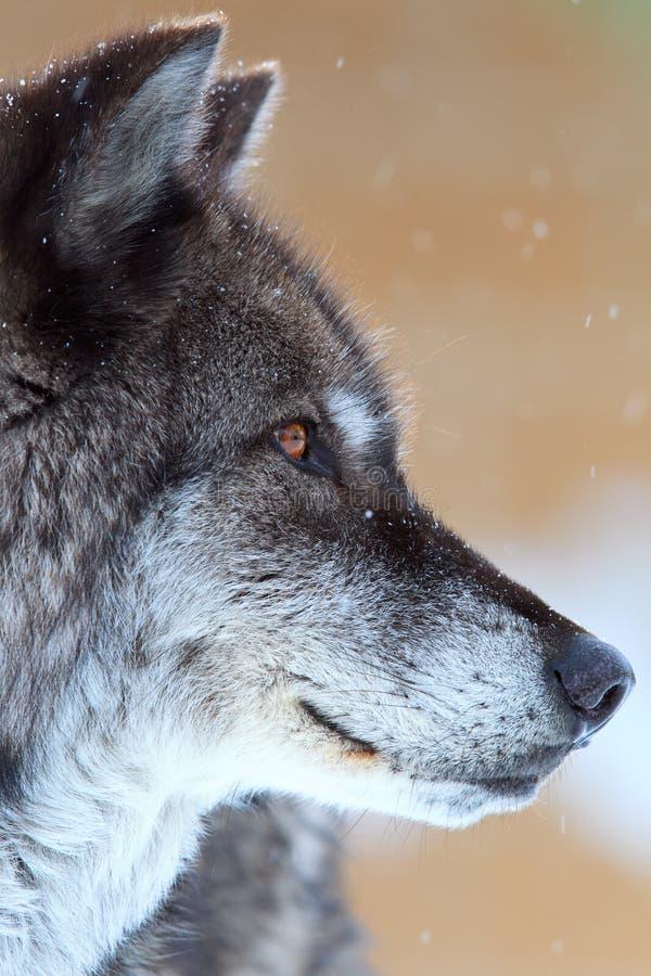 Portrait d'un loup de bois de construction noir photo libre de droits