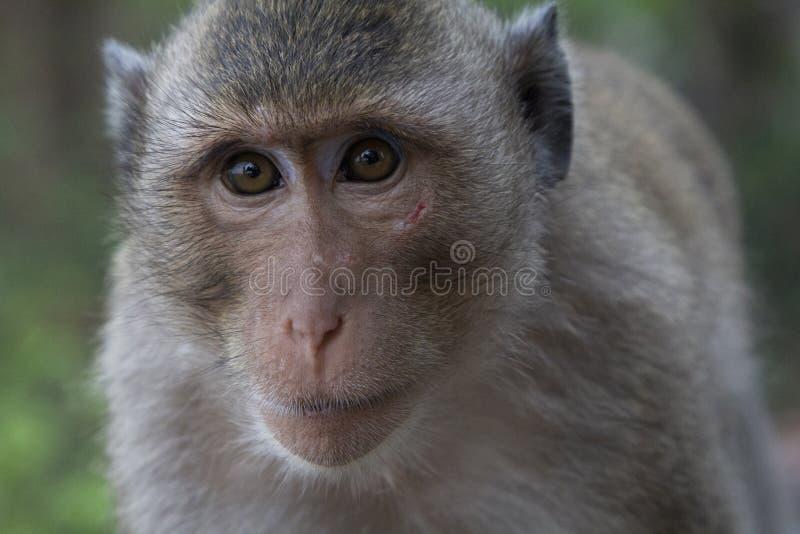 Portrait d'un Macaque de longue queue de singe avec une éraflure à son visage photographie stock libre de droits