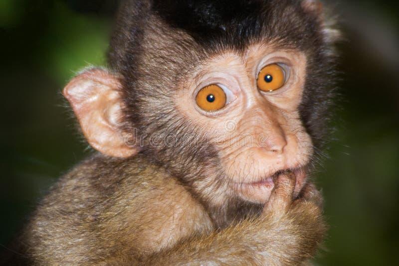 Macaque Porc-coupé la queue photographie stock libre de droits