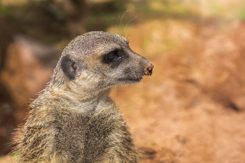 Portrait d'un meerkat avec la terre sur l'astuce du nez - vue de côté, l'espace de copie photographie stock