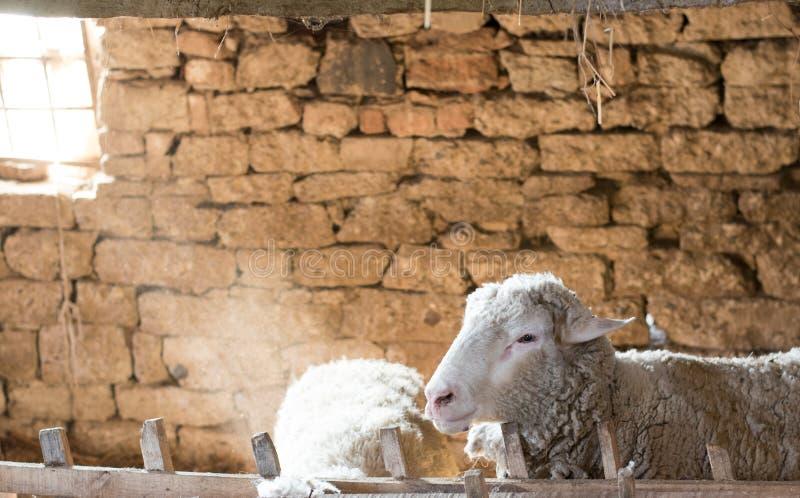Portrait d'un mouton dans une grange photographie stock