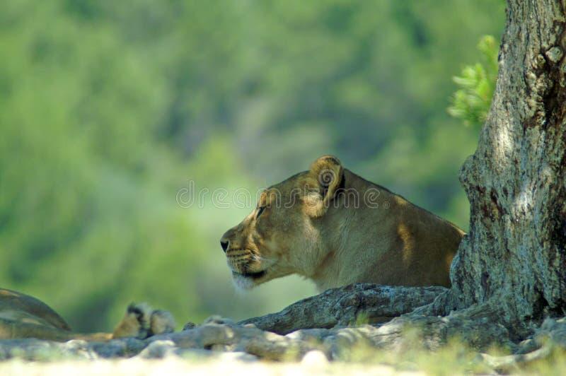 Portrait d'un museau du ` s de lionne dans le profil photos libres de droits