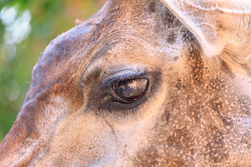 Portrait d'un oeil de belle girafe images stock
