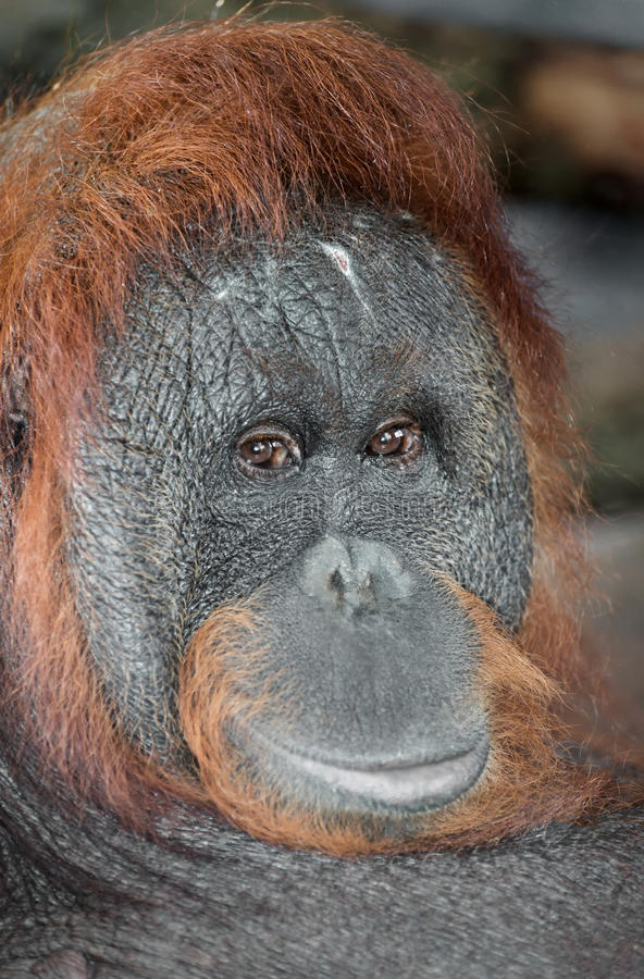 Portrait d'un orang-outan image stock